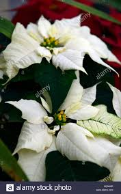 Euphorbia Pulcherrima Winter Sonnenschein Weihnachtsstern