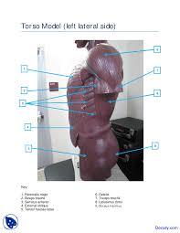 Torso muscle anatomy for artist. Torso Left Side Muscles Model Human Anatomy Handout Docsity