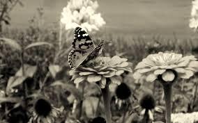 Znalezione obrazy dla zapytania butterfly black and white