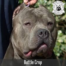 Pitbull Ear Crop Chart