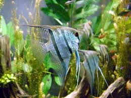 freshwater angelfish the plete information and with order and now for the lowest in the best