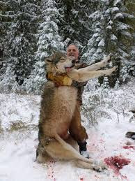grey wolf size giant canadian grey wolves in idaho fact or photoshop the rebel