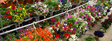 hewitts hanging baskets