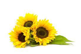 Słoneczniki obrazy na płótnie