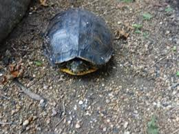 Image result for hibernating tortoise creative commons
