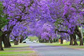 Jacaranda Afrikaans Top 20 Chart Winter Is Receding And Spring Heralds The Blooming Of