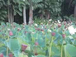 allerton garden reviews. lotus flowers at allerton gardens garden reviews n