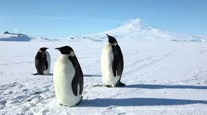 emperor penguin habitat. Brilliant Habitat Emperor Penguins On Penguin Habitat R