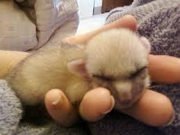 newborn fennec fox. Contemporary Newborn Baby Fox Fennec Fox For Newborn Fox K