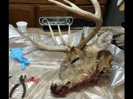how to skin a deer head for a european