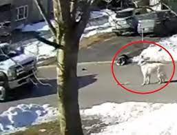 Cadela arrisca a própria vida parando em frente a veículo para pedir  socorro para dona