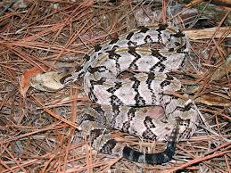 Venomous Snakes In S C Www Scliving Coop
