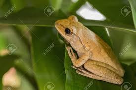 garden frogs. Fine Garden Frogs Nest On Green Leaves In The Garden Stock Photo  80246467 On Garden G