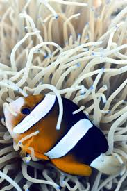Clown Fish Identification Chart Identifying Types Of Anemonefish Oceans To Alpines