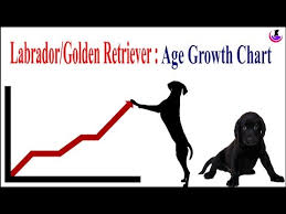 Labrador Weight Chart By Age Labrador Golden Retriever Age Weight Growth Chart Ii Hindi