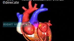 anatomy of heart in hindi body anatomy essay on human heart location structure and other details
