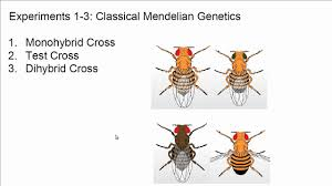 neo mendelian genetics and the virtual fly lab  neo mendelian genetics and the virtual fly lab