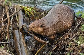 Image result for beaver