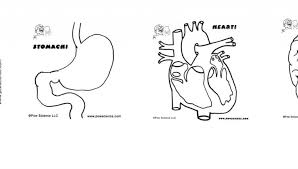 Small Picture Human Organs Coloring Pages For Kids Human body organ printables