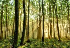 Fototapete Wald Npa 8295 Wald Am Morgen Vlies Fototapete Fototapete
