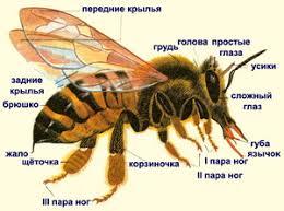 Сайт учителей биологии МБОУ Лицей № города Воронежа  Крупная семья пчел насчитывает до 100 тыс особей которые живут в улье В улье большинство насекомых рабочие пчелы Это бесплодные самки у которых