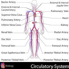 circulatory system clip art clip art on  bioworldcandor the human circulatory system labeled diagram of the