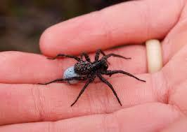 Spiders Do Not Bite Arthropod Ecology