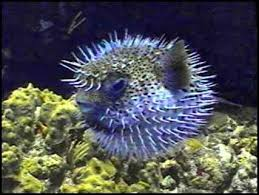 aqua marine discovery puffer fish