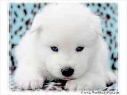 pure white wolf pup. Simple Pup White Wolf Blue Eyes For Sale  LARGE WOOLLY SOLID WHITE BLUE EYED WOLF  HYBRID PUP  700 Provo  And Pure White Wolf Pup