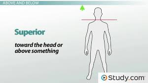 Anatomical Directional Terminology Anterior Posterior And More