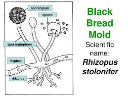 Ppt Black Bread Mold Scientific Name Rhizopus Stolonifer