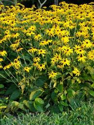 Rudbeckia fulgida v. fulgida Black-eyed Susan from New Moon ...