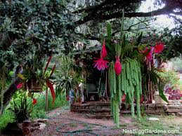 epiphyllum mixed with burro tail succulents love the shade of this oak tree