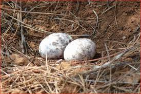 what color are bluebird eggs 22359 s of wild bird nests and eggs
