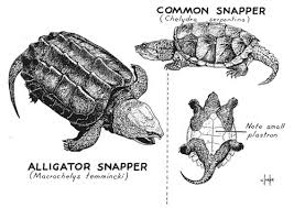 Small Picture Vol 2 No 4 Turtles in Kansas The Kansas School Naturalist