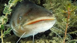 Angler zogen den fisch aus einem göttinger kiessee, in seinem maul steckte eine schildkröte. Gptxtm8gqhevxm