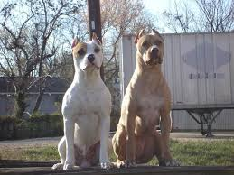 mean pitbull dogs fighting.  Mean Mean Pitbull Dogs Fighting With O