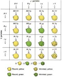 Mendelian Genetics Chart Intro To Genetics