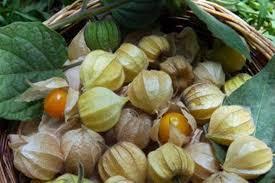 Kỹ thuật trồng cây tầm bóp ngon- đẹp- lạ và chữa bệnh cực hiệu quả - Báo Chất Lượng Việt Nam