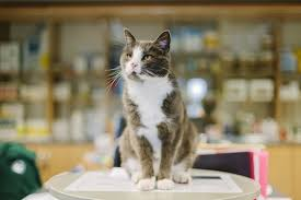 treatment options for hyperthyroid cats