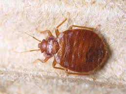 Size Of Bed Bugs Chart View Bed Bug Pictures In All Life Stages Zappbug