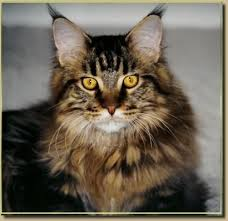 Maine Coon Growth Chart Brown Maine Coon Another Brown Mackerel Tab Maine Coon Maine