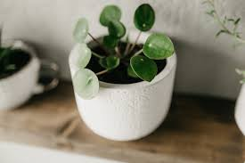 chinese money plant guide how to care