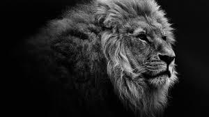 Lion Hd Wallpaper Black And White