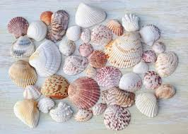 Clam Identification Chart Curious Collectors Of Clam Shells Identification And