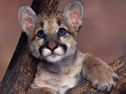 wild baby animal wallpaper. Simple Baby Baby Cougar Wallpaper Animals Wallpapers On Wild Animal L