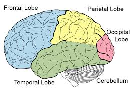 temporal lobe diagram temporal database wiring diagram images diagram of brain frontal lobe diagram