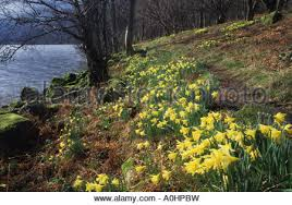 wordsworth s daffodils narcissus pseudonarcissus ullswater lake ullswater lake district cumbria wordsworth s daffodils narcissus pseudonarcissus stock photo