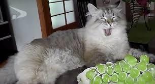 「シベリア猫ミール」の画像検索結果
