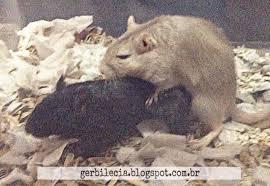 Resultado de imagem para ratos não têm respeito